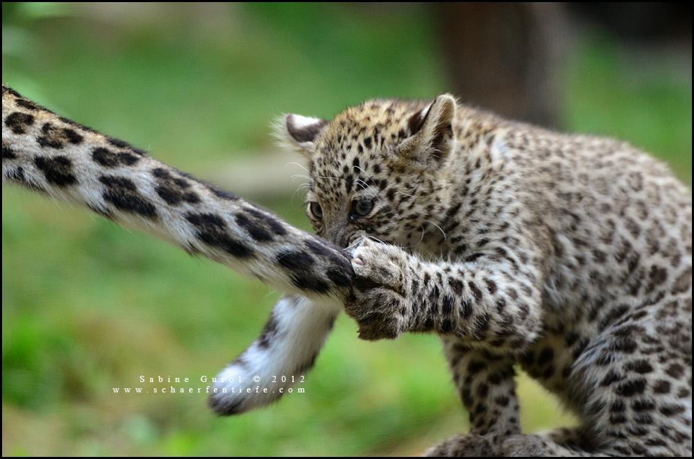 leopardzwei