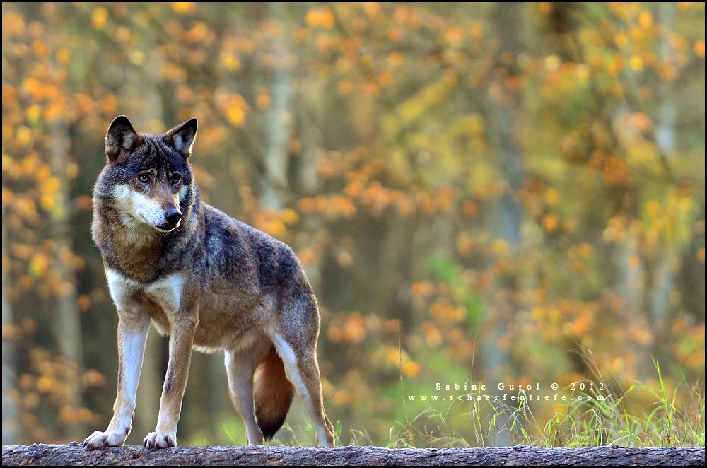 wolfzwei