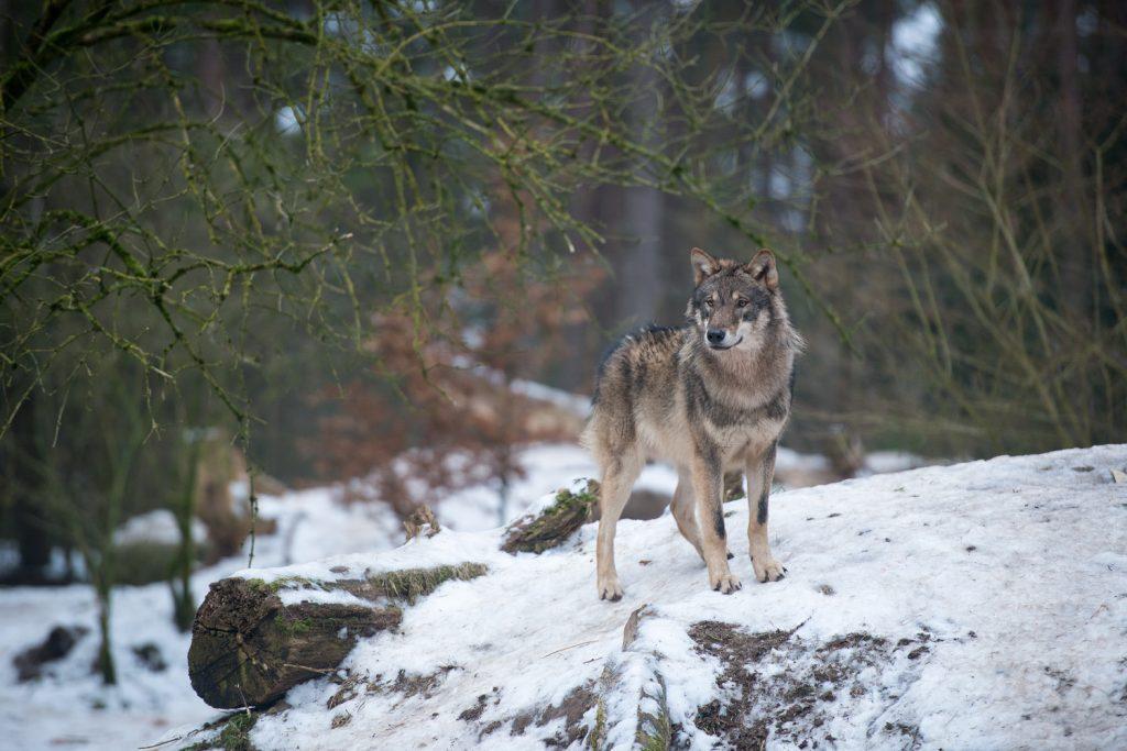 Grauwolf Ayascha
